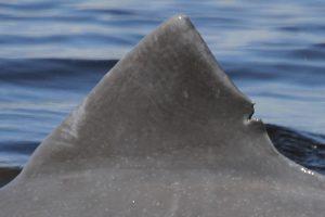 dolphin fin of doppelganger